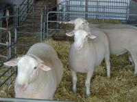 """Show rams Wingamin 032819 """"Diesel"""" (retained) and Wingamin 032863 Reserve Champion ram at Bendigo in 2004."""