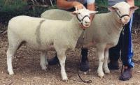 Champion ewe and Champion ram from Roseworthy National Field Day show in 2001