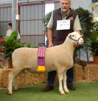 Wingamin 070855 Reserve Champion ram 2008 Royal Adelaide Show.