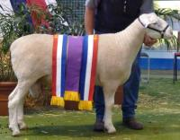 Wingamin 081378 Junior Champion ram, Grand Champion ram and Reserve Supreme Shortwool ram at the 2009 Royal Adelaide Show. Full brother W 071068 retained in 2008.