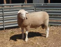 Wingamin 070854. 1st pairs class 2008 Royal Adelaide Show. Triplet brother to W 070855 (Reserve Champion ram 2008 Royal Adelaide Show) retained 1/2 share sold to Ashmore Stud