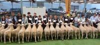 Group of 3 rams class 2011 Royal Adelaide Show