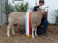Wingamin 101961 TOP SHELF Supreme Shortwool ram Hamilton Sheepvention 2011
