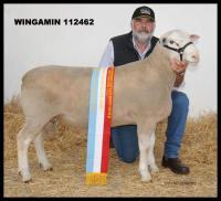 Wingamin TRIFECTA Supreme Shortwool Ram 2012 Hamilton Sheepvention