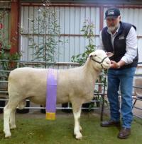 Wingamin 112284 Reserve Champion ram Hamilton Sheepvention 2012 (retained in stud)