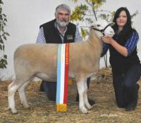 Wingamin 122901 Supreme Shortwool ewe Hamilton Sheepvention 2013
