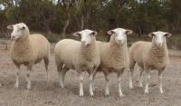 Show ewes 2013