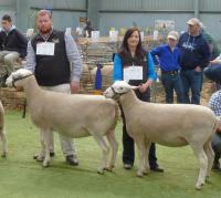 Show ewes 2015. Wingamin 122901 winning ewe over 1 1/2 years at all shows in 2015 with her lamb at foot and Reserve Champion ewe 2015 Royal Adelaide Show and Wingamin 140009 April May class winner pictured at Bendigo Elite WS Show 2015