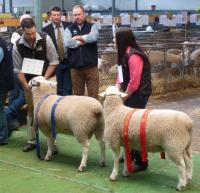 1st and 2nd prize ram lambs, also 1st and 2nd objective measurement class winners at the 2016 Royal Adelaide Show.
