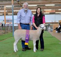 Wingamin 161200 young milk tooth ewe. Reserve Champion Ewe 2017 Royal Adelaide Show