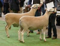 Wingamin 171273 during judging. Champion ewe at both major shows attended in 2018 and 1st prize ewe lamb and objective measurement class winner in 2017