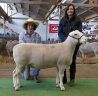 Wingamin 171489 1st July class at both Hamilton Sheepvention and the 2018 Royal Adelaide Show, sold to Charles Rowett, Ulandi North stud for $7,000 at the Royal Adelaide Elite sale.