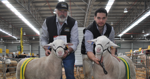 Sons of Detpa Grove 110452 - Champion & Reserve Champion Junior Rams, Australian Sheep and Wool Show, Bendigo 2014.