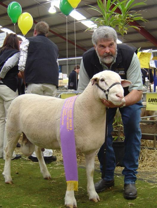 WINGAMIN 040208 STERLING Res Champion ram Hamilton Sheepvention 2005