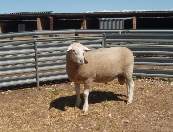 WINGAMIN 070854 1st in the pairs with his triplet brother 070855 (Reserve Senior Champion). Half share sold to Ashmore stud.