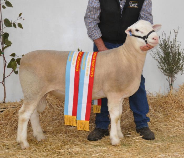 WINGAMIN 133262 Supreme Shortwool ram Hamilton & Junior Champion ram at the Australian Sheep and Wool Show, Bendigo and the 2014 Royal Adelaide Show. Leader of our Supreme Breeders group.