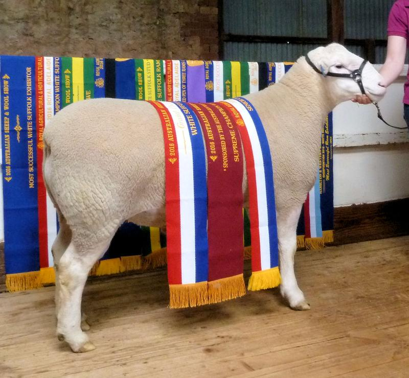 Wingamin 150402 Tw. Unbeaten Senior Champion ram at all 3 major shows attended in 2016. Sired by Wingamin 122714.