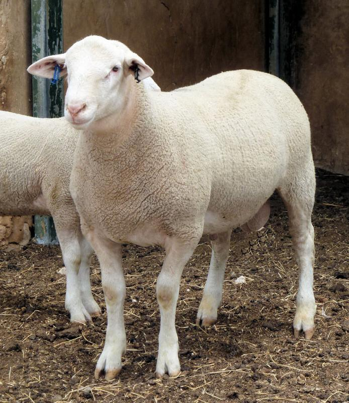 """Wingamin 161005 """"BUSTER"""" Pictured at age 5 1/2 months. Out of show ewe Wingamin 133237 who is the Twin sister to our Champion ewe, 2014 Royal Adelaide Ewe (""""Addison"""")"""