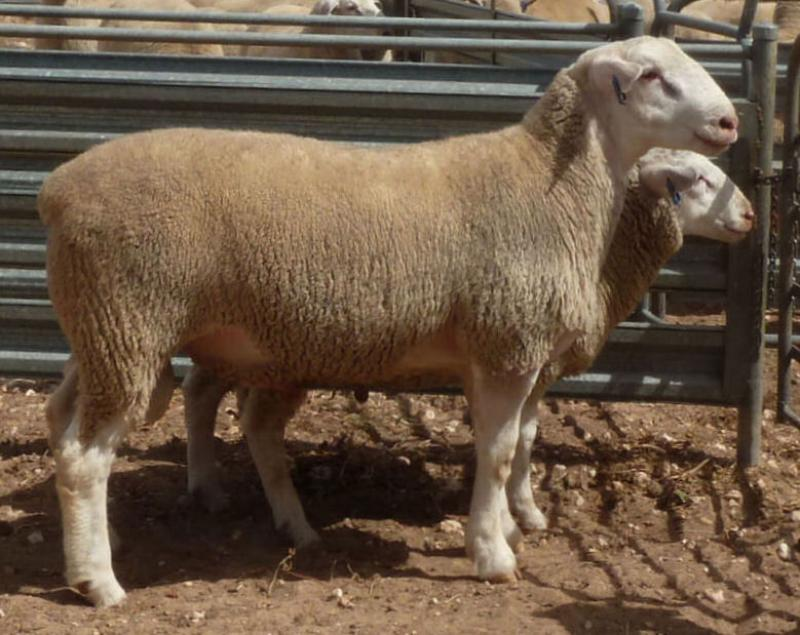"""Wingamin 161106 """"RIPPER"""" Scanned 88.5 kgs, 6 mm fat, 51.5 emd at age 7 months (pictured scan day)"""
