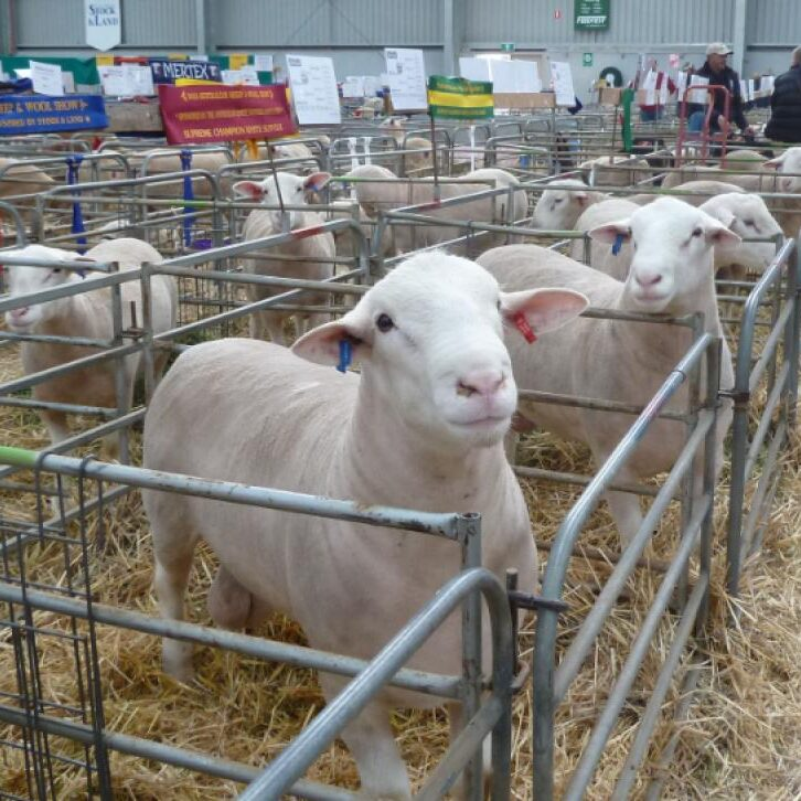 Wingamin produces high quality stud and commercial rams for prime lamb production.